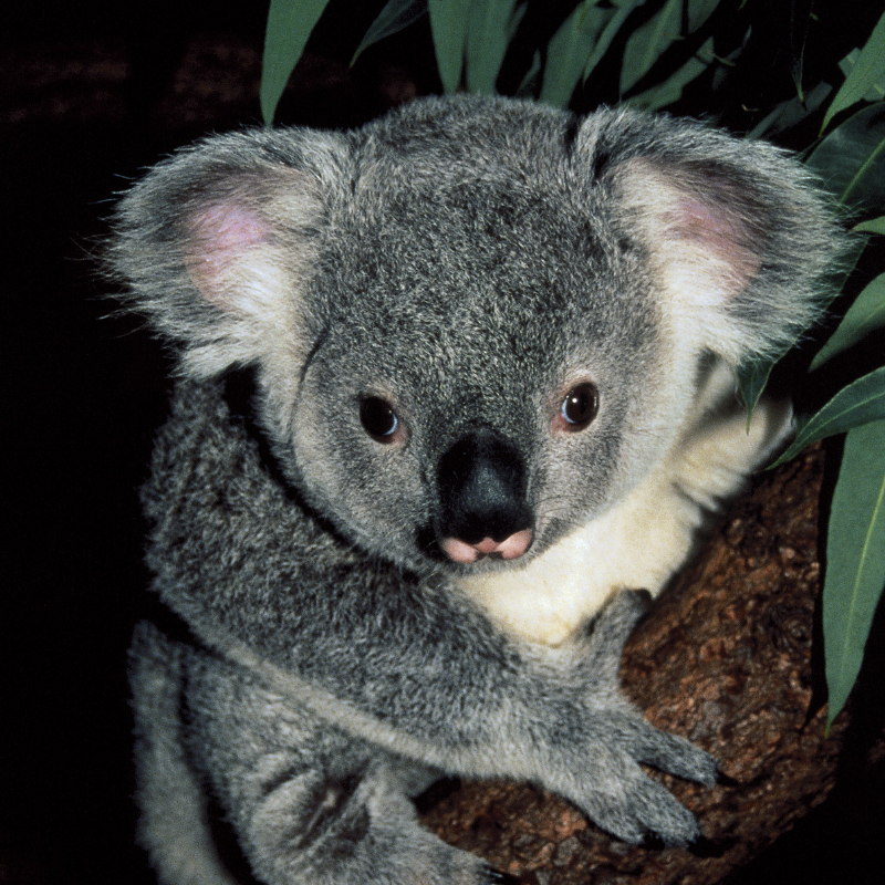 3 Ways to Have a Koala Experience