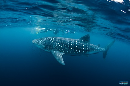 Swim with Whale Sharks in Western Australia