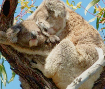Amazing Facts About Koala Joeys